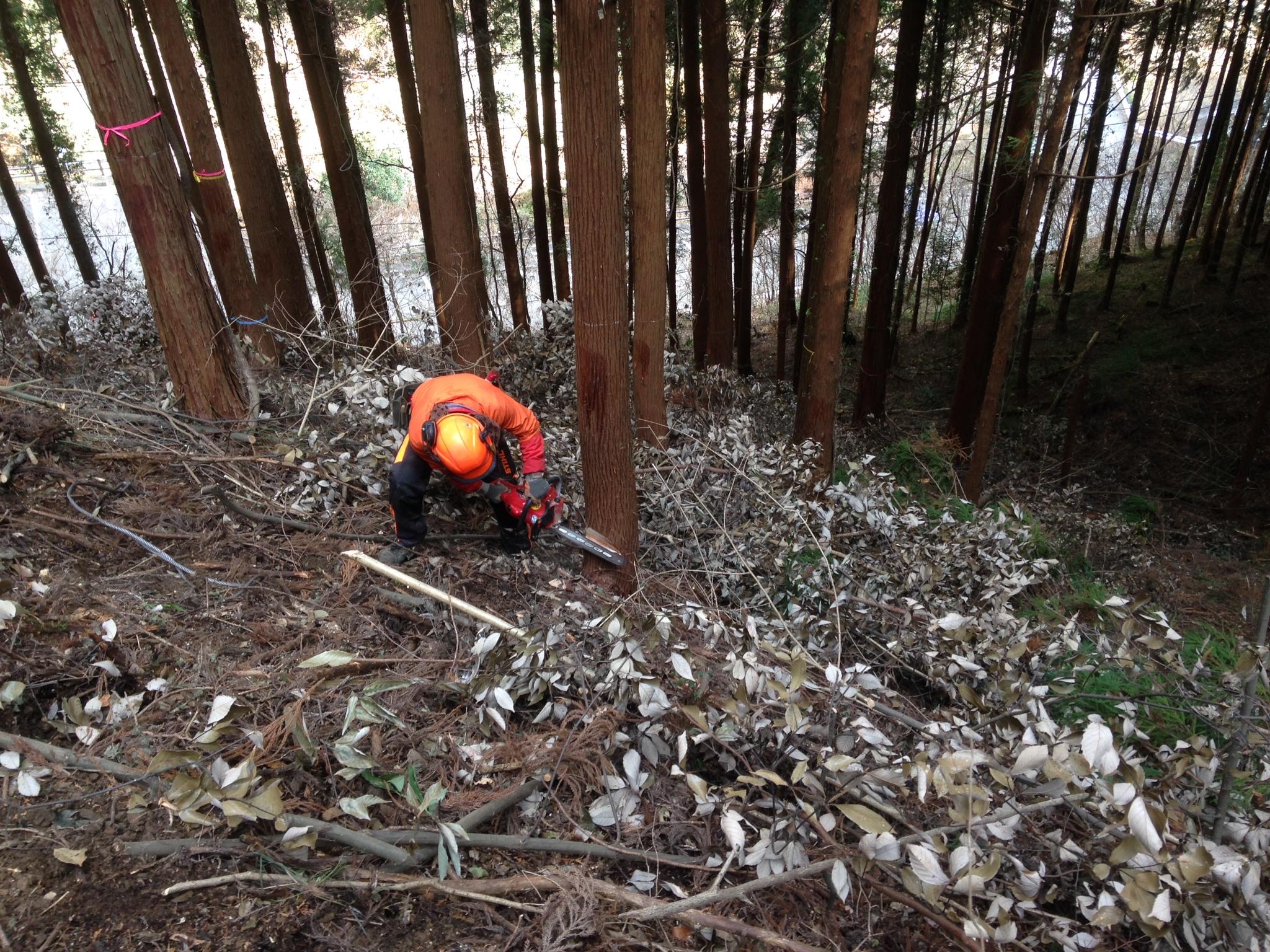 伐採、葉枯らし、杉玉づくり。そして路網踏査。     2014年末に。
